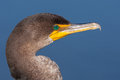 Double Crested Cormorant Portrait Royalty Free Stock Image