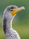 Double crested cormorant portrait of a phalacrocorax auritus Stock Image