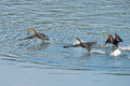 Double crested cormorant s chasing one with fish Stock Image
