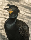 Double crested cormorant in south florida in winter Royalty Free Stock Image