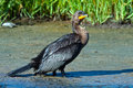 Double crested cormorant standing in the marsh Royalty Free Stock Images
