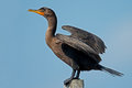 Double crested cormorant standing pole Royalty Free Stock Image