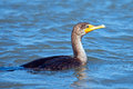 Double crested cormorant swimming in blue water Stock Photos