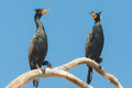Double Crested Cormorants Royalty Free Stock Photography
