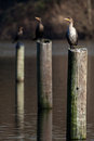 Double crested cormorants sitting on pilings in an inland lake Stock Photography
