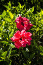 Double Hibiscus Flowers in Funchal Madeira Royalty Free Stock Photo