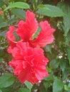 Double Hibiscus Flowers