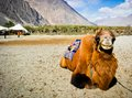 The double hump bactrian camels at nubra valley ladakh region of north india in history they are used on silk route during th Royalty Free Stock Photo