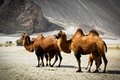 The double hump Bactrian camels Royalty Free Stock Photo
