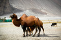 The double hump bactrian camels at nubra valley ladakh region of north india in history they are used on silk route during th Stock Image