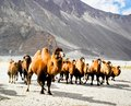 The double hump camels bactrian at nubra valley ladakh region of north india in history they are used on silk route during th Stock Image