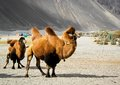 The double hump camels Royalty Free Stock Photo
