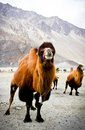 The double hump camels bactrian at nubra valley ladakh region of north india in history they are used on silk route during th Stock Photos