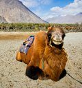 Double hump camels in ladakh india Stock Photos