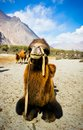 The double hump camels at nubra valley bactrian ladakh region of north india in history they are used on silk route during th Royalty Free Stock Images