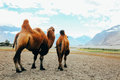 Double hump camels setting off on their journey in the desert in Nubra Valley, Ladakh, India Royalty Free Stock Photo