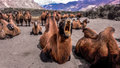 Double humped camel resting after grazing in pastures of nubra valley ladakh Stock Images