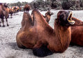Double humped camel resting after grazing in pastures of nubra valley ladakh Royalty Free Stock Image
