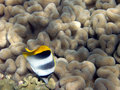 Double-saddle butterfly fish on coral Royalty Free Stock Image
