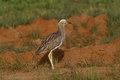 Double striped thick knee burhinus bistriatus single bird on ground Stock Photo