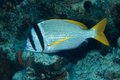 Doublebar bream acanthopagrus bifasciatus in the red sea egypt Stock Image