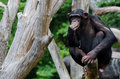Doubtful chimpanzee Stock Image