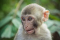 Doubting macaque a close up of a rhesus Royalty Free Stock Images