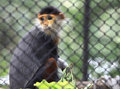 Douc Langur Monkey Royalty Free Stock Photos