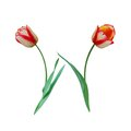 Douple late tulip flower Stock Photography