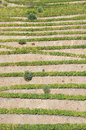 Douro valley portugal vineyard terraces vertical rows of grape vines running up the hillside in the of Royalty Free Stock Image