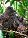 Dove and babies or zebra or morning Royalty Free Stock Photography
