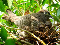 Dove and babies or zebra or morning Royalty Free Stock Image
