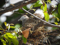 Dove bird sleeping in the nest on the tree Royalty Free Stock Photo