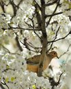 Dove in a Blossoming Cherry Tree Stock Images