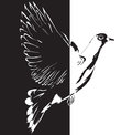 Dove cartoon flying from black to white drawing made ​​by hand vector illustration Royalty Free Stock Photography