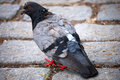 A dove with colourful feathering is searching for food Royalty Free Stock Photos