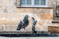 Dove drinking water pigeons and doves constitute the bird family columbidae that includes about species Stock Photography
