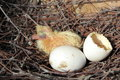 Dove and eggs yang in nest Royalty Free Stock Photography