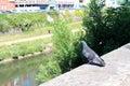 Dove near the river Royalty Free Stock Photo