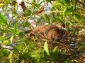 Dove on the nest or zebra or morning Stock Photo