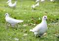 Dove in the park Royalty Free Stock Photo