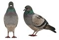 Dove Pigeon Isolated