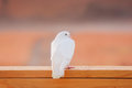 Dove on porch railing a white is perched a wooden Stock Image