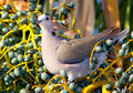Dove sitting in turquiose fruits a rusty peach colored a yellow plant tipped with emerald turquoise Royalty Free Stock Image