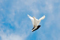 Dove in the sky flying Royalty Free Stock Images