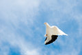 Dove in the sky flying Stock Images