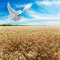 Dove Soaring over Wheat field Stock Photography