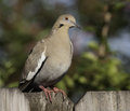 Dove standing on wood fence eurasian collared against a blurred tree background Stock Image