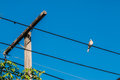 Dove is on wire. Dove is a ture love and bird family.