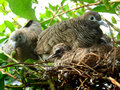 Doves and babies or zebra or morning Stock Photography